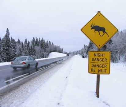 Moose-Crossing Courtesy Wikimedia