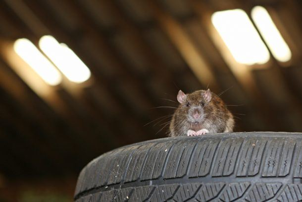 Rodents May Have Flavor For the Wiring Insulation in ... on